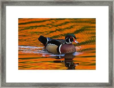 Male Wood Duck, Aix Sponsa, Swimming Framed Print
