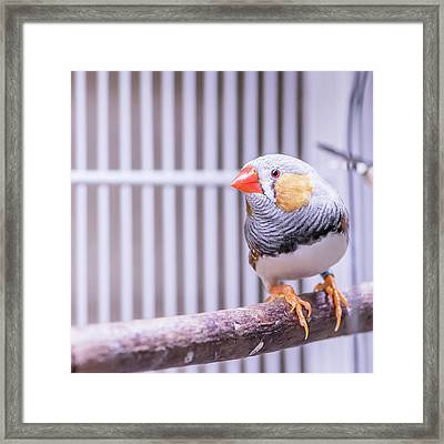 Male Zebra Finch Framed Print