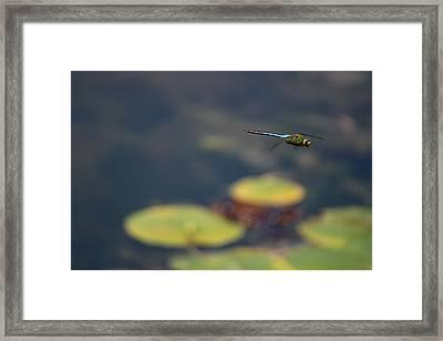 Malibu Blue Dragonfly Flying Over Lotus Pond Framed Print