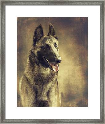 Malinois Portrait Framed Print by Wolf Shadow  Photography