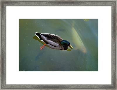 Mallard And Carp Framed Print