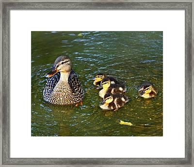 Mallard And Ducklings Framed Print by Susan Leggett