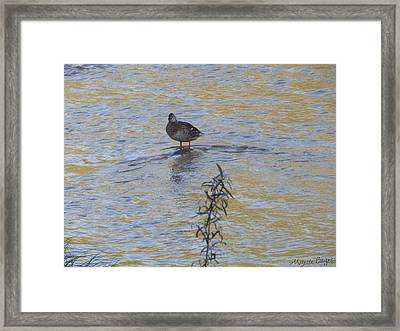 Mallard And The Branch Framed Print