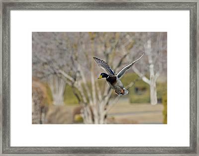 Mallard Approach Framed Print by Mike  Dawson