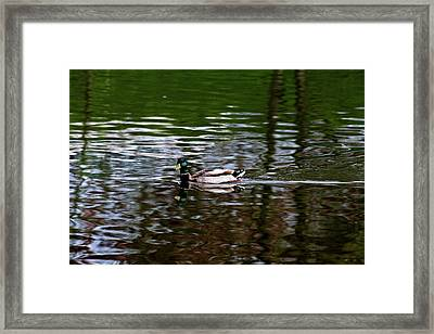 Mallard Framed Print by Bonnie Bruno