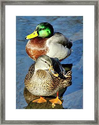 Mallard Couple Framed Print