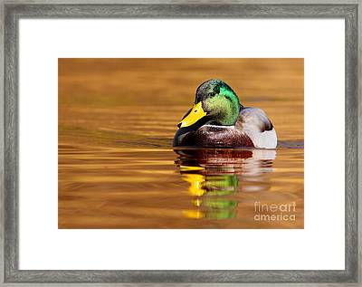 Mallard Drake In The Golden Water Framed Print by Mircea Costina Photography