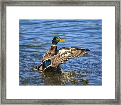 Mallard Drake In The Water Framed Print