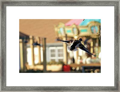 Mallard Duck And Carousel Framed Print