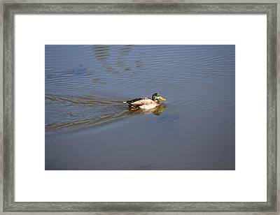 Mallard Duck Burgess Res Co Framed Print