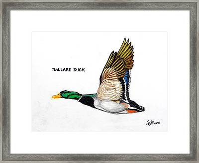 Mallard Duck Framed Print by Frederic Kohli