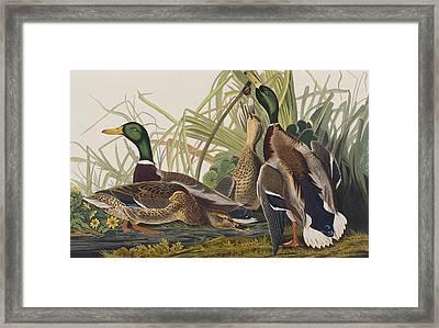 Mallard Duck Framed Print by John James Audubon