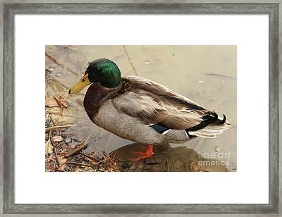 Framed Print featuring the photograph Mallard Duck by Kim Henderson