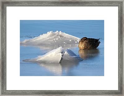 Mallard Duck Mount Sinai New York Framed Print by Bob Savage