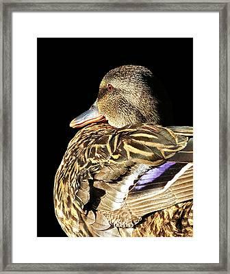 Mallard Duck Portrait Framed Print