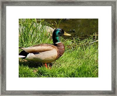 Mallard Duck Framed Print by Rosalie Scanlon
