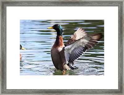 Mallard Duck  Framed Print by Stephen Athea
