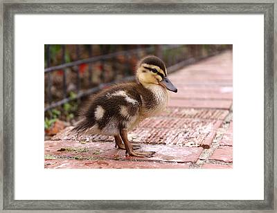 Mallard Duckling  Framed Print by Stephen Athea