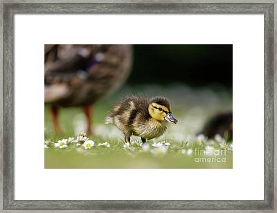 Framed Print featuring the photograph Mallard Ducklings - Anas Platyrhynchos - Grazing Feeding Among Dai by Paul Farnfield