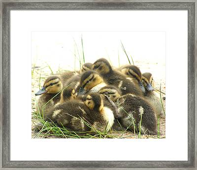 Framed Print featuring the photograph Mallard Ducklings by Angie Rea