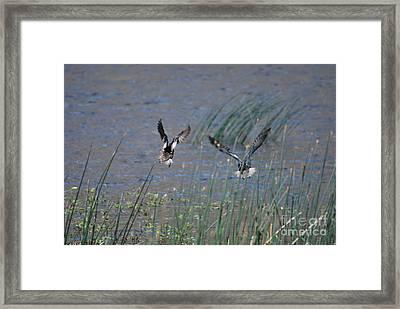 Mallard Ducks - Nelson Resevior White Mountains Framed Print by Donna Greene