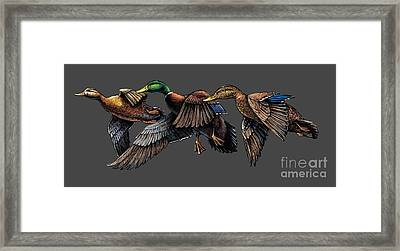 Mallard Ducks In Flight Framed Print