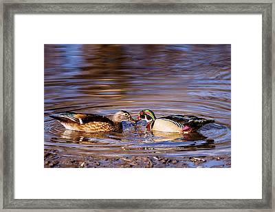 Wood Ducks Love Framed Print by Vishwanath Bhat
