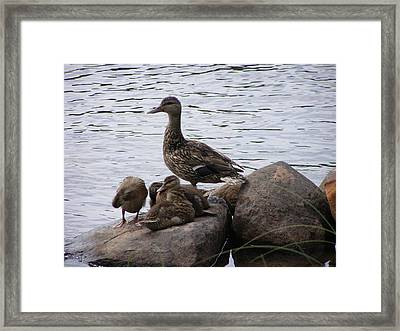 Framed Print featuring the photograph Mallard Family by Meagan  Visser