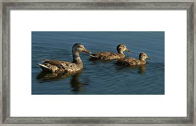 Mallard Family Outing Framed Print by Jean Noren