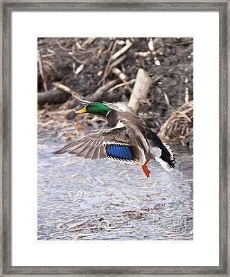 Mallard Flight Framed Print