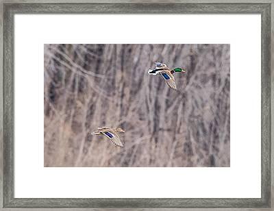 Mallard Fly By Framed Print by Paul Freidlund