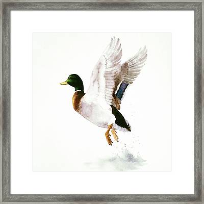 Mallard Flying Away Watercolor Framed Print