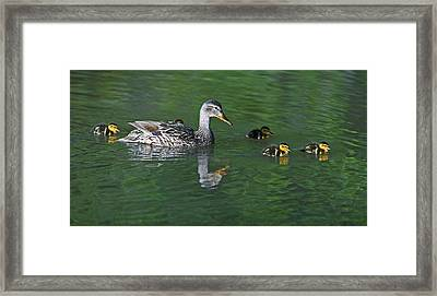 Mallard Hen And Her Ducklings Out For A Swim Framed Print by Gary Langley