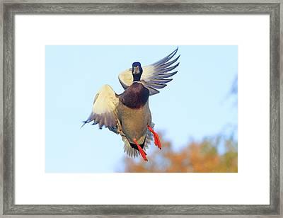 Mallard In Flight 2 Framed Print