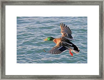Mallard In Flight 3 Framed Print