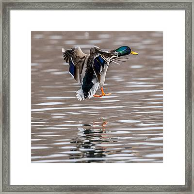 Mallard Incoming Framed Print