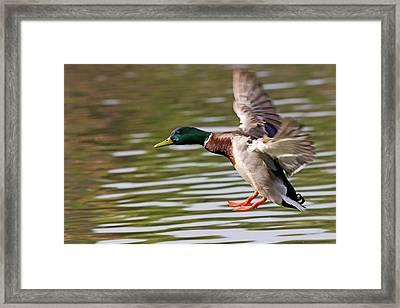 Mallard Landing Framed Print by Randall Ingalls