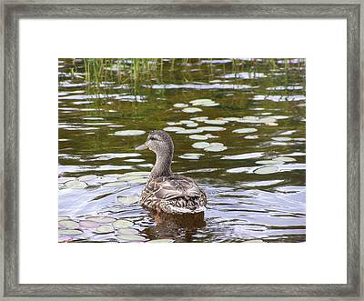 Framed Print featuring the photograph Mallard by Meagan  Visser