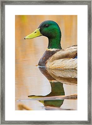 Mallard Mirror Framed Print