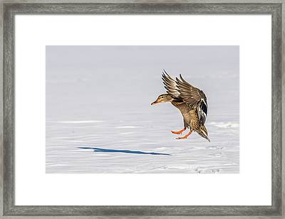 Mallard On Snow Framed Print