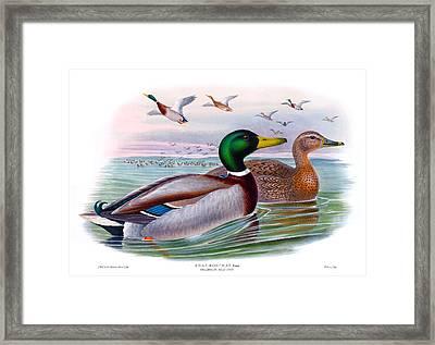 Mallard Or Wild Duck Antique Bird Print Joseph Wolf Birds Of Great Britain  Framed Print by Orchard Arts