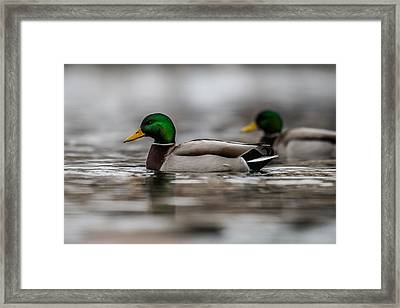 Mallard Framed Print by Paul Freidlund