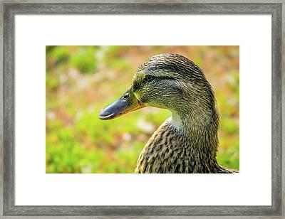 Mallard Portrait - Female Framed Print