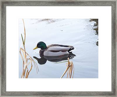 Mallard Reflected Framed Print
