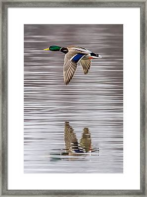 Mallard Reflections Framed Print