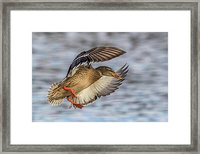 Mallard With Cupped Wings Framed Print