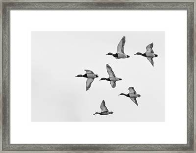 Framed Print featuring the photograph Mallards by Dan Traun