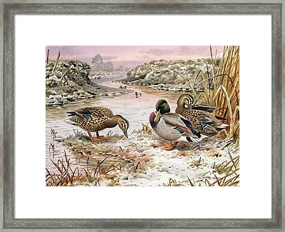 Mallards In A Quiet Corner Framed Print by Carl Donner