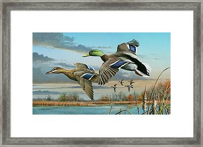 Mallards In Flight Framed Print