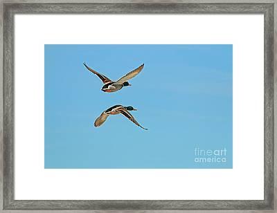 Mallards In Flight Framed Print by Sharon Mayhak